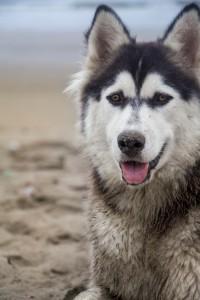 Portraits de chiens en Équateur